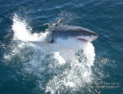 The Jumping Bean Great Whites of Gansbaai are currently o... by Fiona Ayerst 